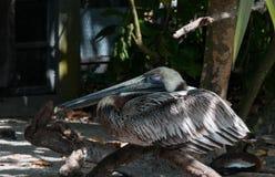 Evergladespelikaan Stock Foto's