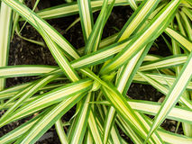 Evergold gjorde randig att gråta starrgräset Royaltyfria Foton