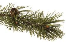 evergreen ветви стоковые фотографии rf