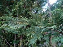 evergreen стоковая фотография rf