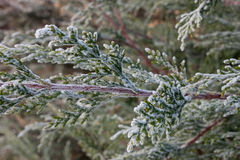 evergreen морозный стоковые изображения rf