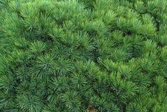 evergreen предпосылки Стоковые Изображения RF