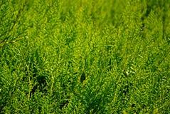 Evergreen immagine stock libera da diritti