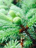 evergreen Foto de Stock