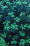 evergreen imagem de stock