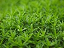evergreen стоковые изображения