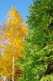 evergreen Стоковые Фото