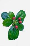 evergreen Стоковое Фото