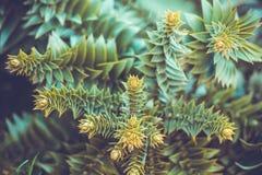 evergreen fotografia stock libera da diritti