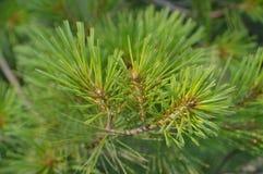 evergreen Imagen de archivo libre de regalías