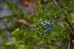 evergreen Foto de archivo libre de regalías