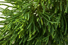 evergreen Arkivfoton