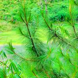 evergreen Imagens de Stock