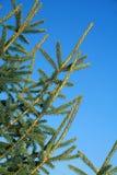 Evergreen immagini stock libere da diritti