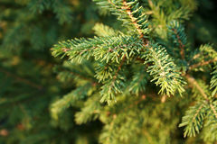 Evergreen fotografia de stock royalty free
