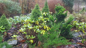 evergreen Imagens de Stock Royalty Free