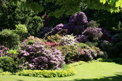 Evergreen, all in flowered rhododendrons. Stock Photos