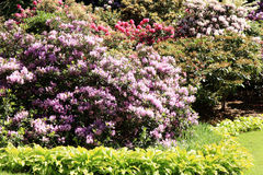 Evergreen, all in flowered rhododendrons. Royalty Free Stock Images