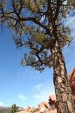 Evergreen ao céu imagens de stock royalty free