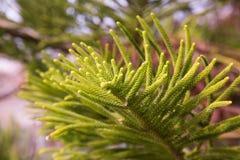 Evergreen araucaria heterophylla Royalty Free Stock Photos