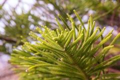 Evergreen araucaria heterophylla Stock Photos