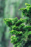 Evergreen arborvitae, natural background Royalty Free Stock Image