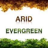 Evergreen with arid. Leaf isolated on white background Royalty Free Stock Image