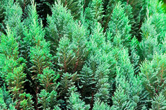 Evergreen background Royalty Free Stock Images