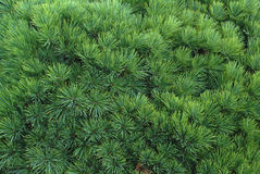 Evergreen Background. Rich green background of densely packed pine boughs Royalty Free Stock Images