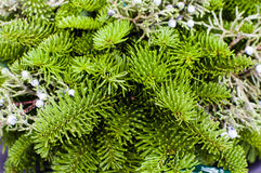Evergreen boughs with juniper berries Stock Images