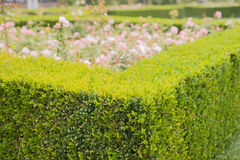 Free Evergreen Boxwood Hedge Adorn A Rose Garden Stock Images - 74459044