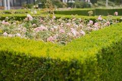 Evergreen boxwood hedge adorn a rose garden. Evergreen boxwood (Buxus sempervirens) hedge adorn a rose garden royalty free stock images