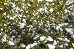 Evergreen boxwood in winter. royalty free stock photography