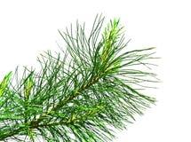 Evergreen branch Royalty Free Stock Photo
