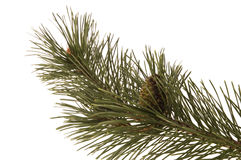 Evergreen branch Stock Images