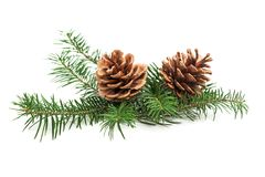 Evergreen branch of Christmas tree with cones royalty free stock image