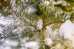 Evergreen branch covered in snow macro. Selective focus stock image