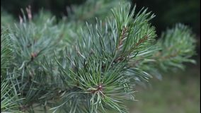Evergreen branch, detail Royalty Free Stock Image