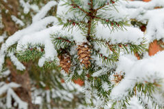 evergreen branch with  heavy snow on it Stock Photos