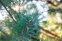 Evergreen branch pine tree royalty free stock images