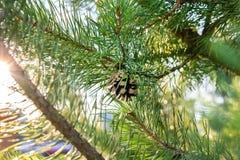 Evergreen branch pine tree royalty free stock photos