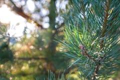 Evergreen branch pine tree royalty free stock photo