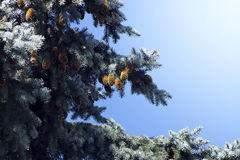 Evergreen branch with pinecones Stock Photo
