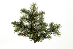 Evergreen Branch Royalty Free Stock Image