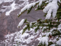 Evergreen Branch with Snow and Ice Royalty Free Stock Photos
