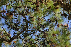 Evergreen Branches Royalty Free Stock Photography