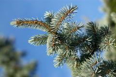 Evergreen Branches And Pins Royalty Free Stock Photo