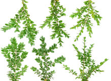 Evergreen  branches  Boxwood set Royalty Free Stock Photography