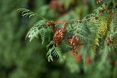 Evergreen branches with cones. Stock Photography