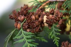 Evergreen branches with cones. Royalty Free Stock Photography